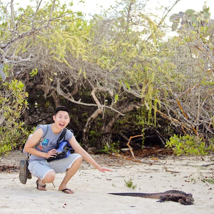 Galapagos Iguana.
