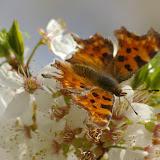 """Polygonia c-album LINNAEUS, 1758, """"frotté"""" sur fleurs de prunier, dans le jardin. Les Hautes-Lisières, 3 avril 2009. Photo : J.-M. Gayman"""