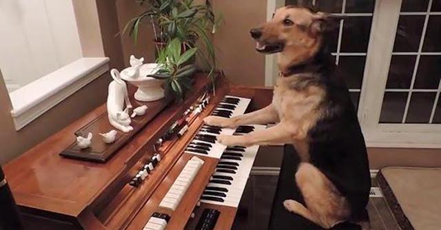 Videos Engraçados de animais: Cadela aprende a tocar piano