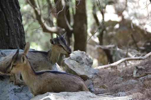 La chèvre « sauvage » des gorges de Samaria (Φαράγγι Σαμαριάς).