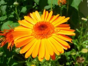 Nagietek lekarski kwiat Calendula officinalis flos