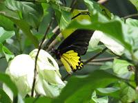 Common Birdwing (Troides helena)