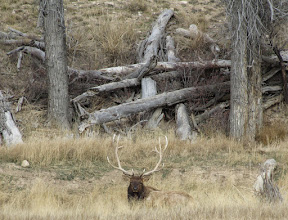 Photo: Got a picture of some wonderful dead wood and there was an elk in the grass! Wyoming