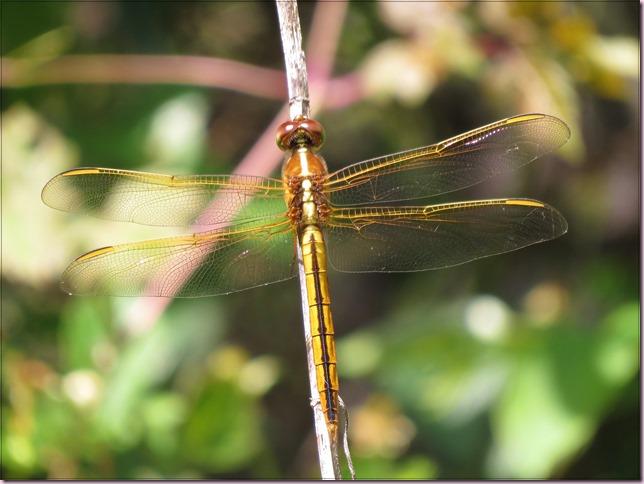 dragonflyIMG_6201