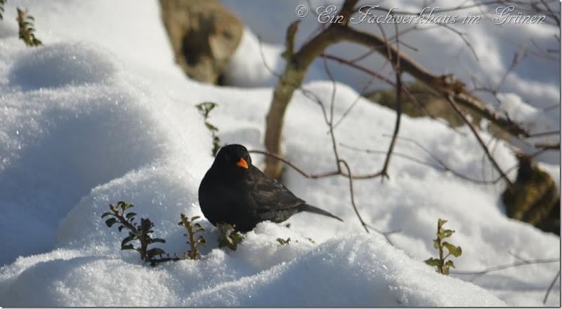 Eine Amsel im Schnee 1