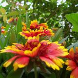 Gardening 2011 - 100_7311.JPG