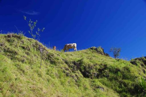 Montée vers Marla (cirque de Mafate). Les Parisiens ça photographie les vaches !