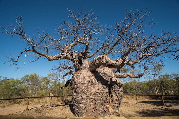 Boob, o baobá prisão da Austrália