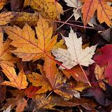 maple-leaves_MG_2284-copy.jpg