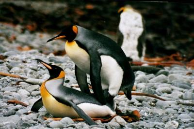 1280px-IMG_1247_mating_king_penguins.JPG