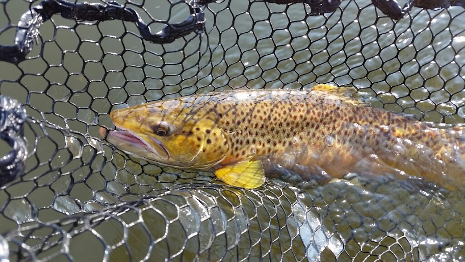 Lake Run Brown Trout Fishing