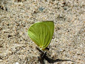 Photo: VIRIDIAN-TINGED  MIMIC-WHITE--pseudopieris viridula--RIO ALPAYACU