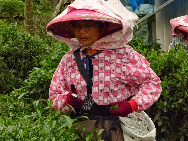 Puli, Nantou county, cueillette de thé - P1050555.JPG