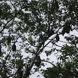 Huge fruit bats in the trees