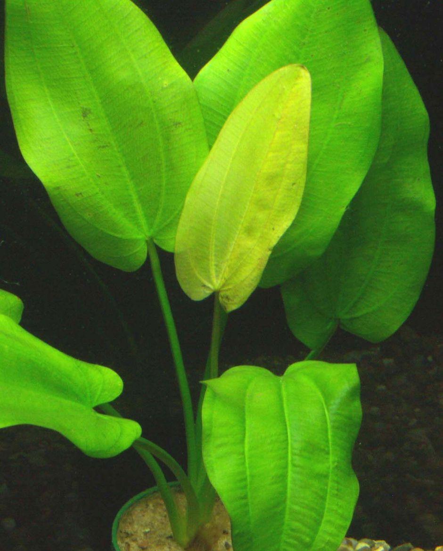 Эхинодорус длиннострелочный (Echinodorus longiscapus)