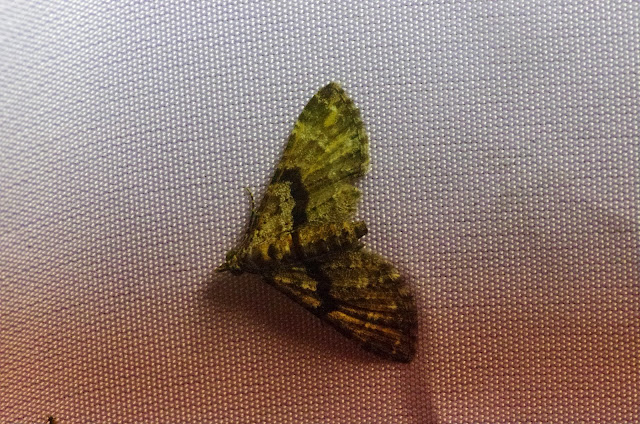 Larentiinae sp. Mount Totumas, 1900 m (Chiriquí, Panamá), 21 octobre 2014. Photo : J.-M. Gayman