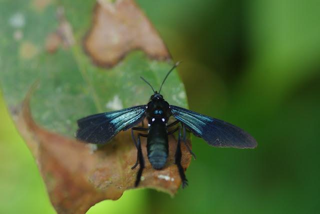 Arctiidae : Ctenuchinae : Macrocneme chrysitis (Guérin-Méneville, 1844) (?). Cascade entre Cachipay et San Rafael, à l'est de Santa María en Boyacá, 890 m (Boyacá, Colombie), 3 novembre 2015. Photo : J.-M. Gayman