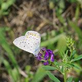 Polyommatus icarus (ROTTEMBURG, 1775). Aix-en-Provence (13, France), 28 juillet 2014. Photo : J.-M. Gayman