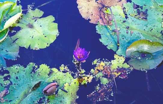 Lilly pond at Mt. Coot-tha Botanic Gardens | Lavender & Twill
