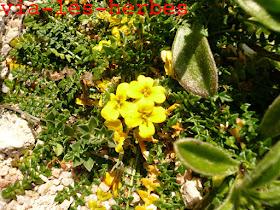 Morisie enfouissante Morisa monanthos.jpg