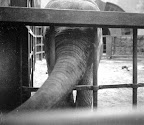 Elefánt a budapesti állatkertben, 1943 (Fotó: Fortepan)