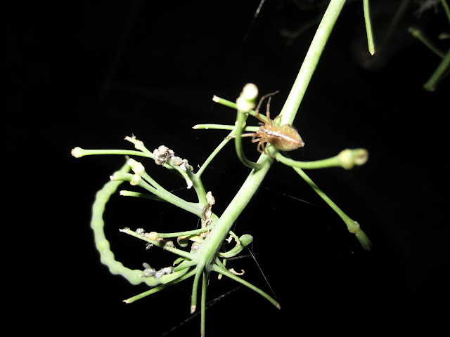 Spider is hunting aphids as a means of control