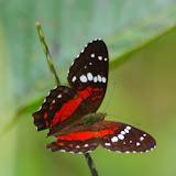 Anartia amathea amathea (L., 1758). Las Juntas, 1350 m (Carchi, Équateur), 23 novembre 2013. Photo : J.-M. Gayman