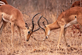 Duelling Impala Males, South Africa