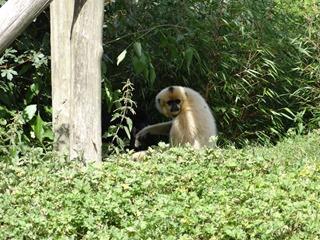 2016.09.02-008 gibbon