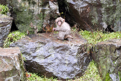 Just one of the tiny babies, hanging out at Jigokudani Snow Monkey Park