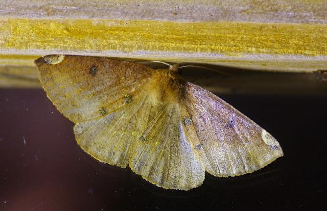 Herbita sp. (?). Mount Totumas, 1900 m (Chiriquí, Panamá), 20 octobre 2014. Photo : J.-M. Gayman