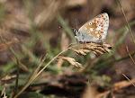 Sortbrun blåfugl, artaxerxes6.jpg