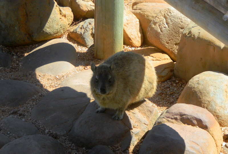 A Dassie (Rock Hyrax)