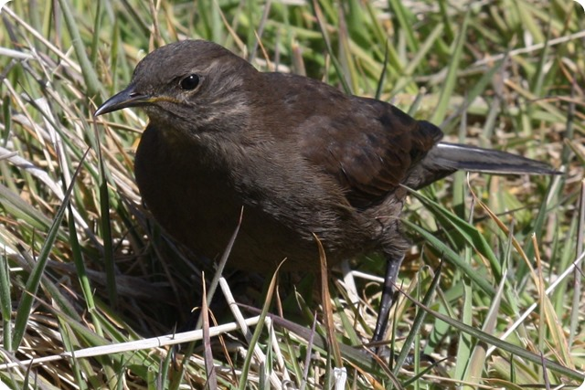 Birds of Argentina of stable or accidental presence in danger: the Black Remolinera. | Argentina Photo Gallery