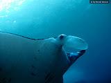 Manta ray (© 2009 Bernd Neeser)