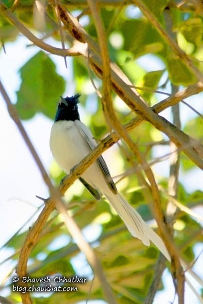 Asian Paradise Flycatcher in foliage