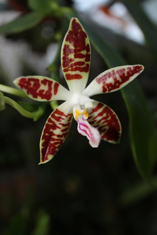 Phalaenopsis sumatrana IMG_1891