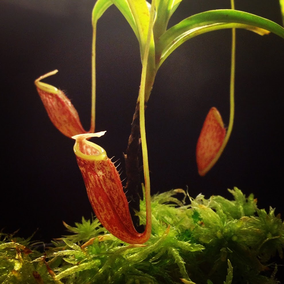 Highland Nepenthes