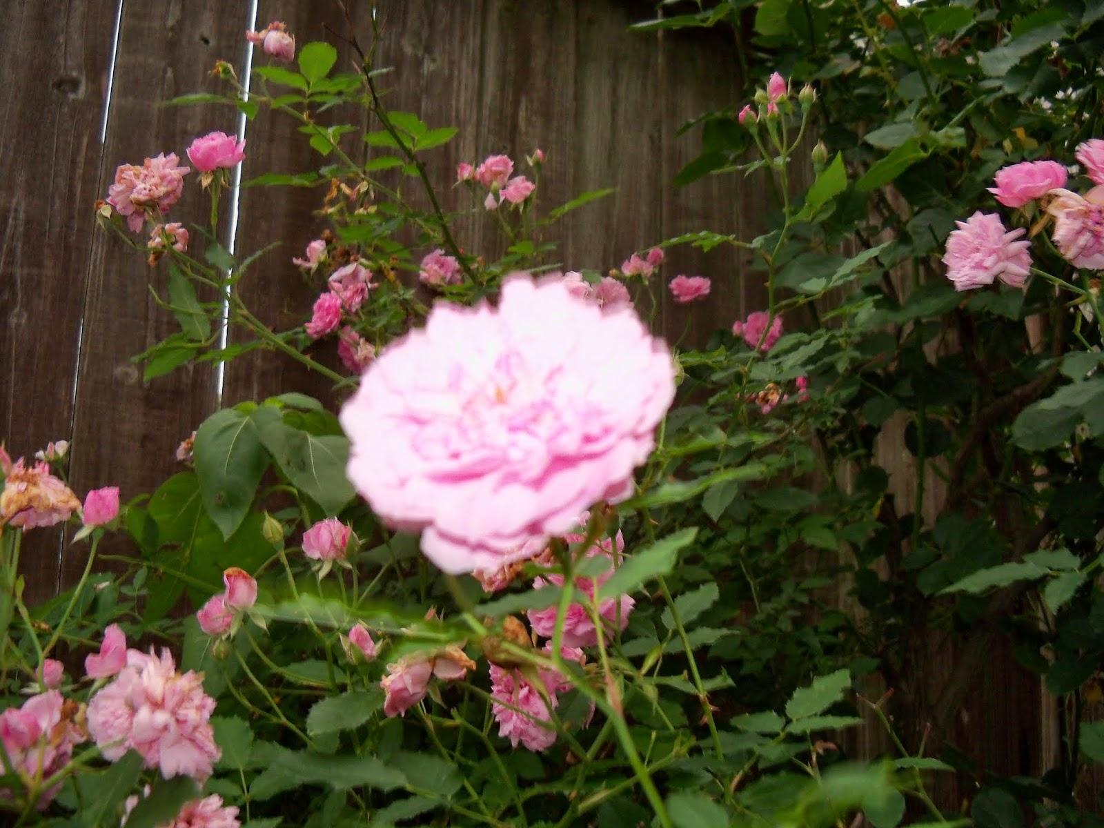Gardening 2014 - 116_1979.JPG