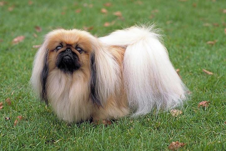 Chó lông xù đẹp nhất: chó Nhật lông xù, poodle, phốc sóc, Bắc Kinh