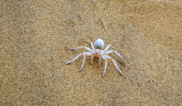 White Dancing Lady Spider
