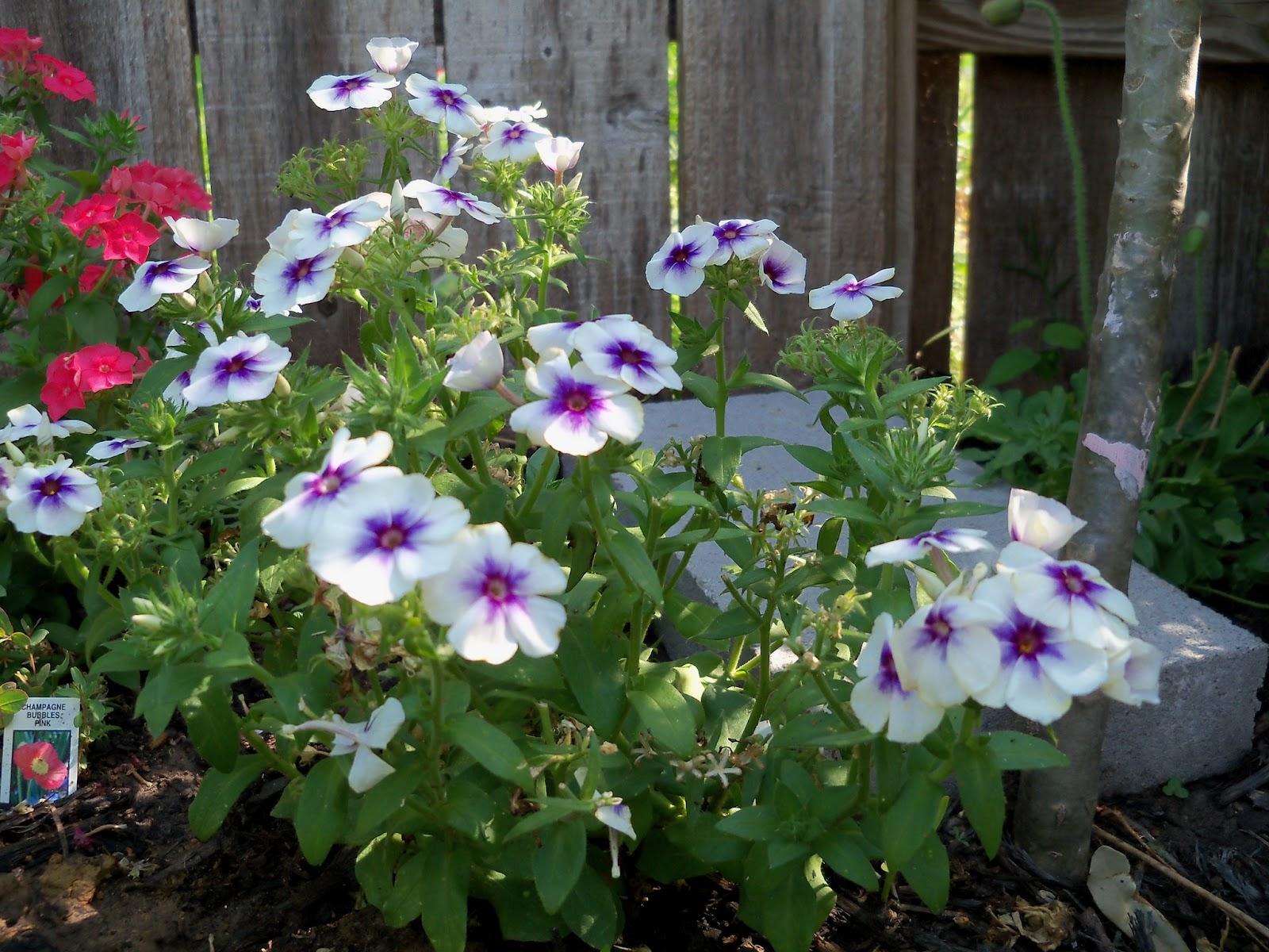 Gardening 2011 - 100_7900.JPG