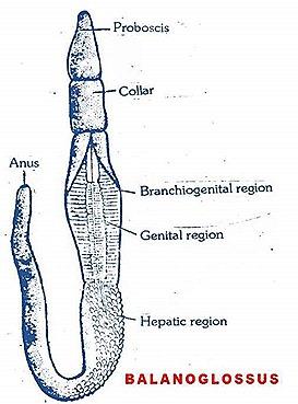 hemichordate-belanoglasus