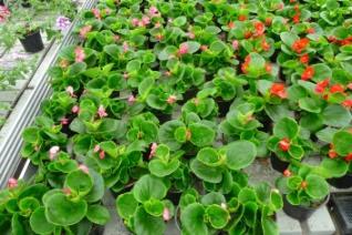 Begonia stale kwitnąca uprawa szklarniowa Begonia semperflorens greenhouse