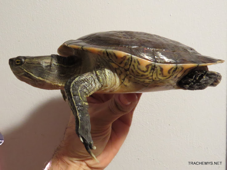 mes tortues (BK) - Page 12 IMG_4478