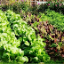 7 Reasons to grow your personal natural vegetable garden