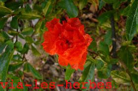 fleur de grenadier.jpg