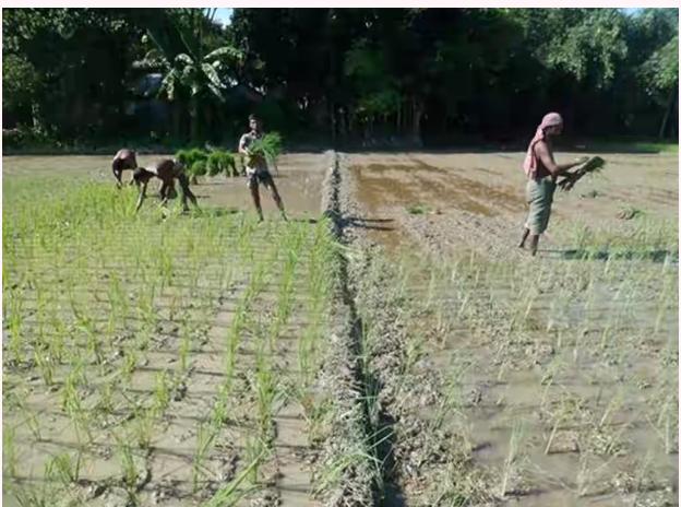 গাইবান্ধার কাঁদামাখা জমিতে চলছে আমন চাষাবাদ