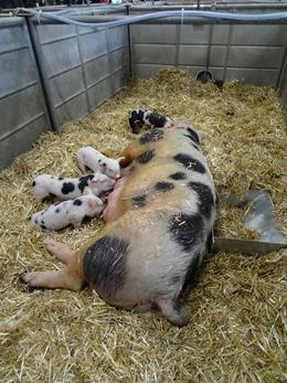 2018.02.25-034 Lol porc de Bayeux