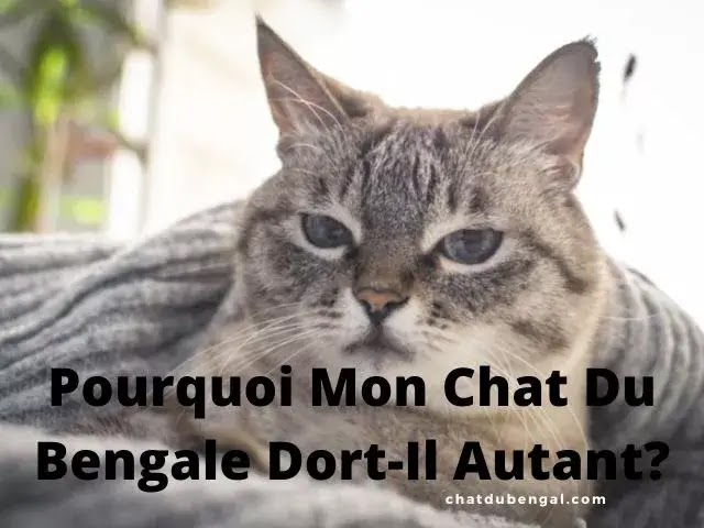 Pourquoi Mon Chat Du Bengale Dort-Il Autant?